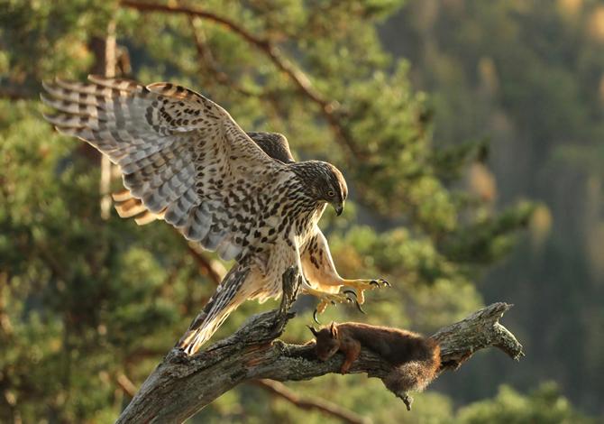 Etter lang tids venting lander unghauken på rota og prøver å få med  seg ekornet