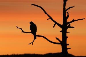 En unghauk sitter oppe i ei stor tørrfuru mot den røde morgenhimmelen