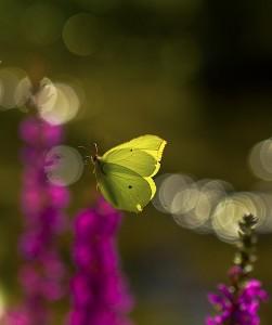 Sitronsommerfugl i flukt
