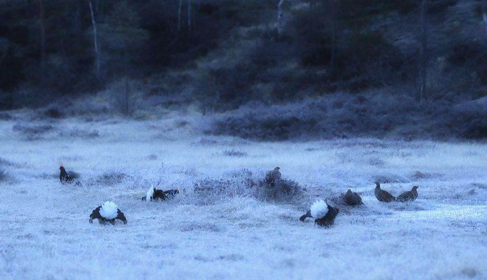 Åtte orrer lander på myra